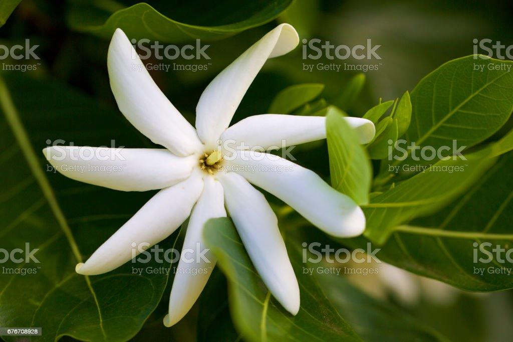 Hawaiian flower Gardenia