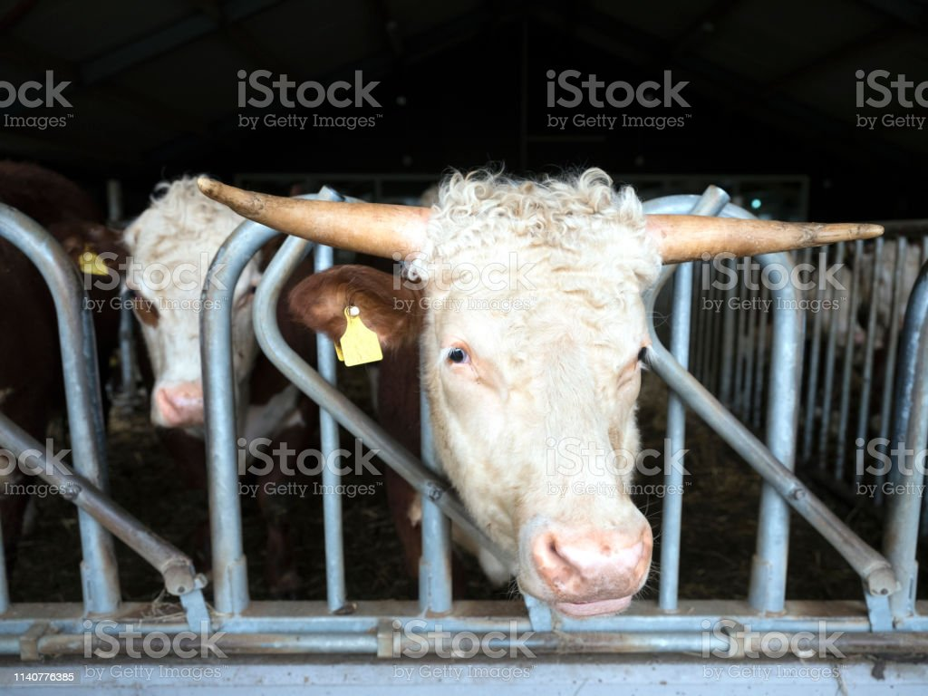 white headed hereford bulls in open stable near amersfoort in the...