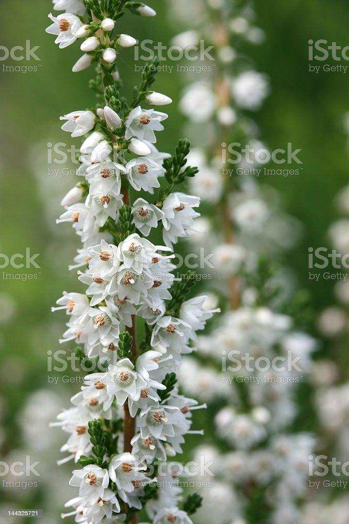 White heather stock photo