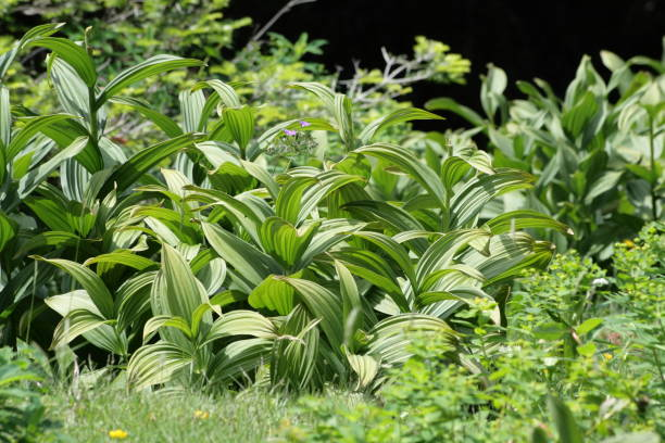 white hellebore or white veratrum white hellebore or white veratrum, Veratrum album false hellebore stock pictures, royalty-free photos & images