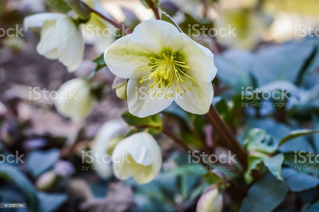 white hellebores flowers stock photo