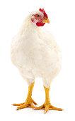 istock White hen isolated. 992770576