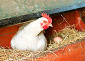 White hen laying eggs in a chicken coop