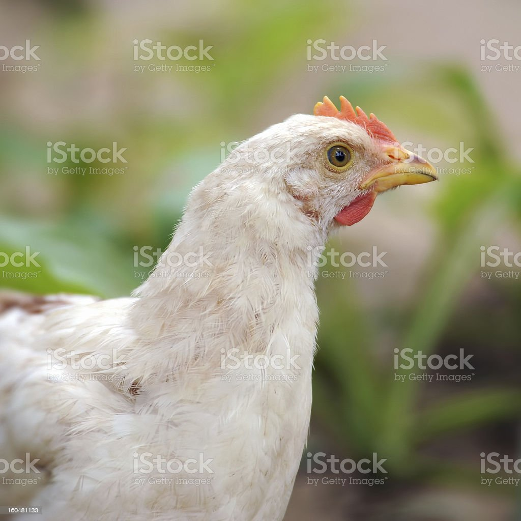 White Hen-chicken royalty-free stock photo