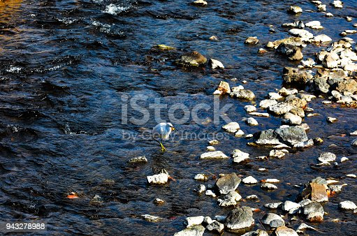 istock white Heron eat fish in the river, Japan 943278988