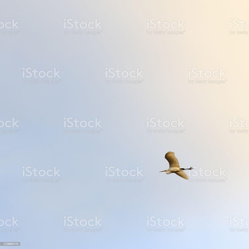 White Heron in flight stock photo