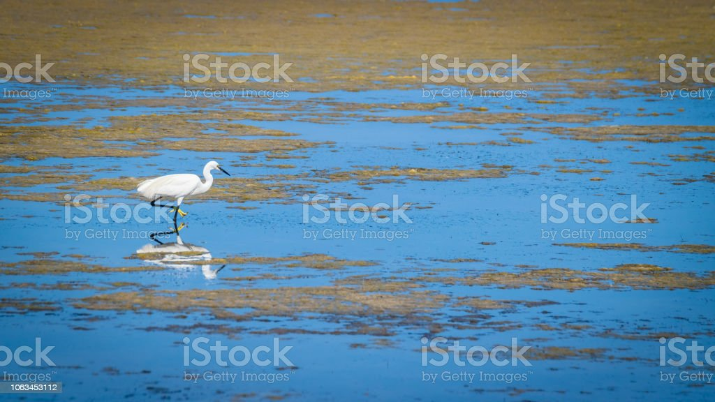 White heron looking for food among the puddles on the edge of a pond. stock photo