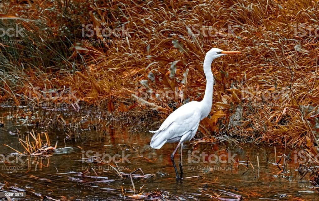 White Heron stock photo