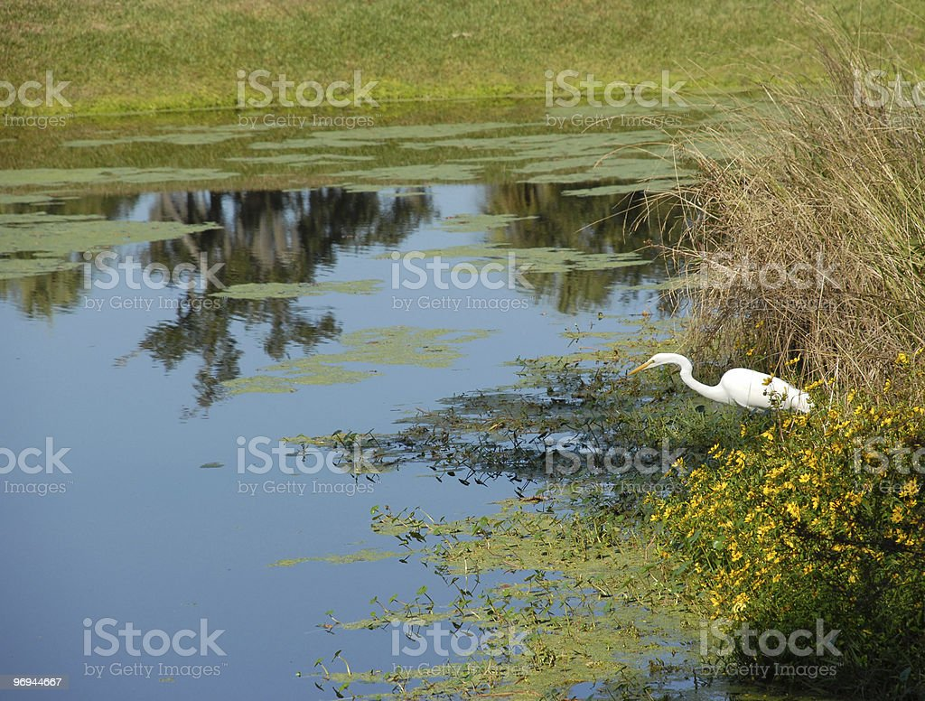 White heron searches for food in South Carolina pond royalty-free stock photo