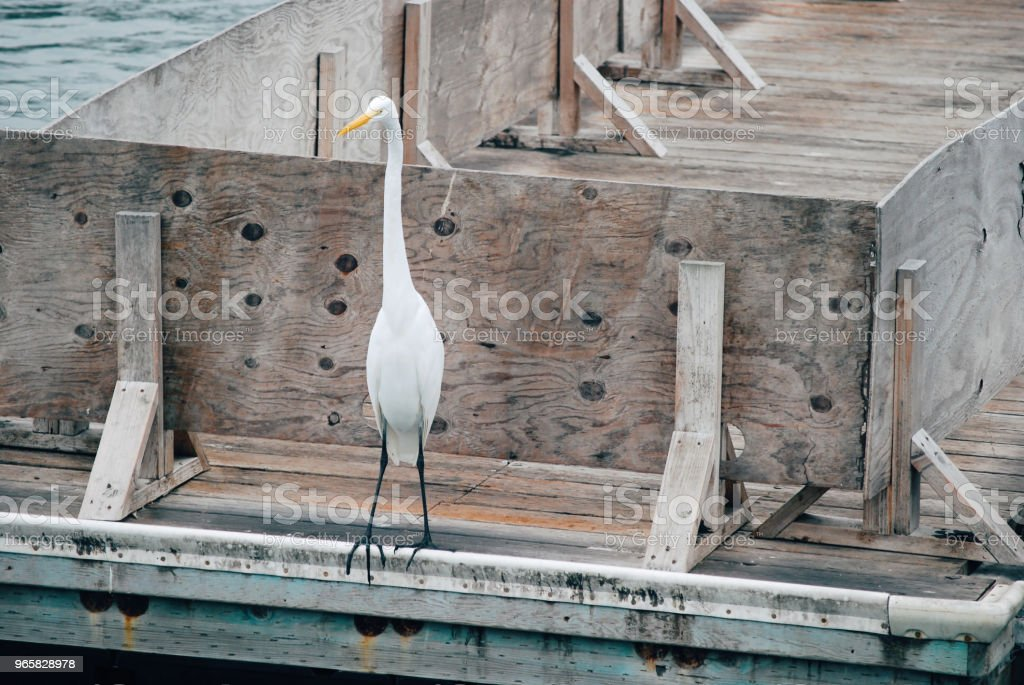 White heron standing in the bay - Royalty-free Animal Wildlife Stock Photo