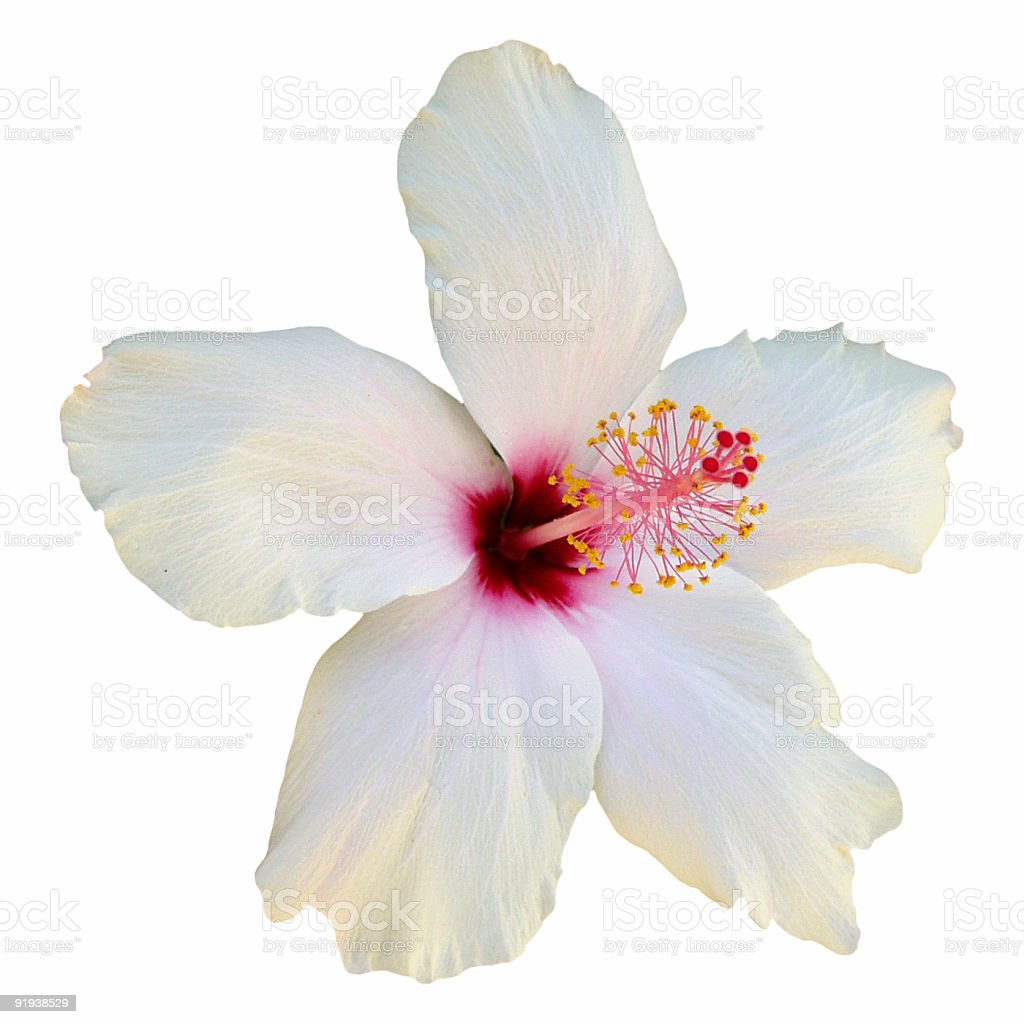 White hibiscus flower in close-up on plain background stock photo