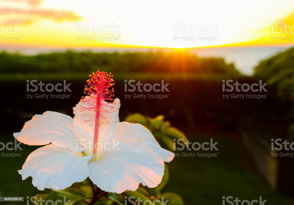 White Hibiscus Flower in Hawaii with Sunset over Ocean in Background stock photo