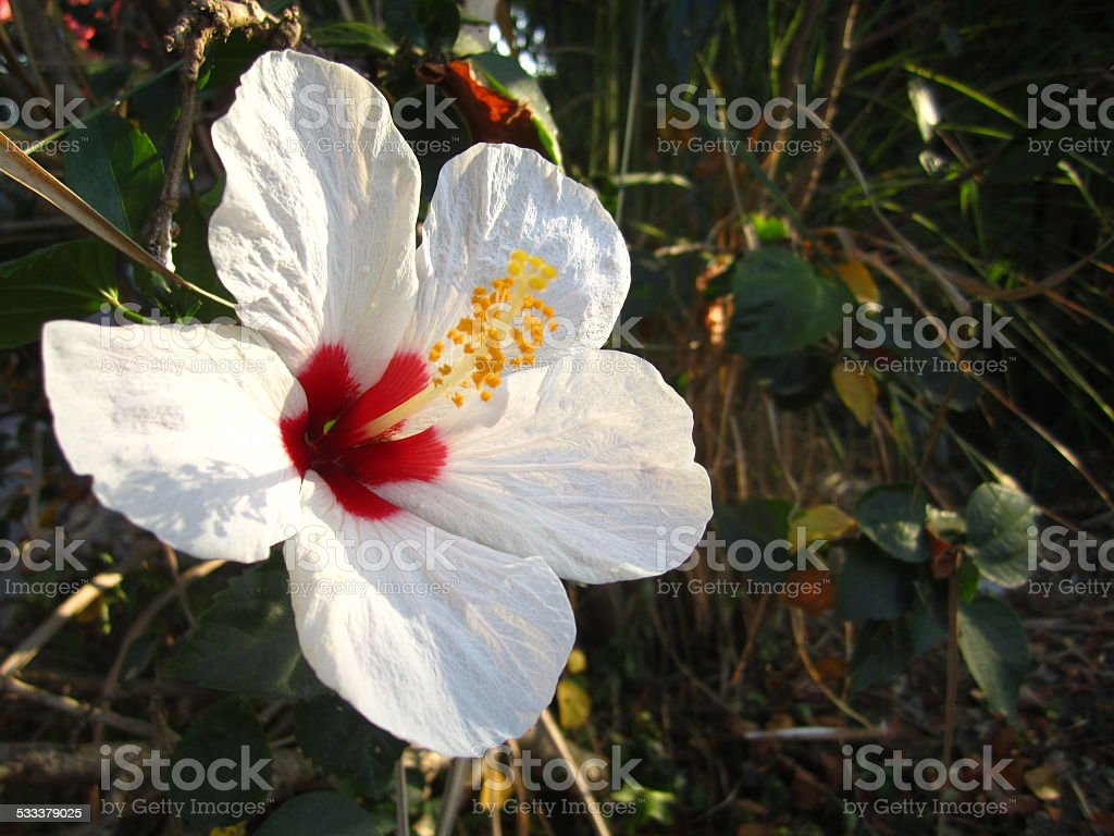 White Hibiscus Flower With Backdrop Background Stock Photo More