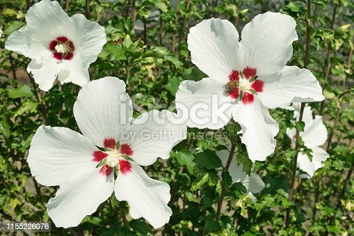 plant and flowers of white hibiscus, hibiscus syriacus red heart