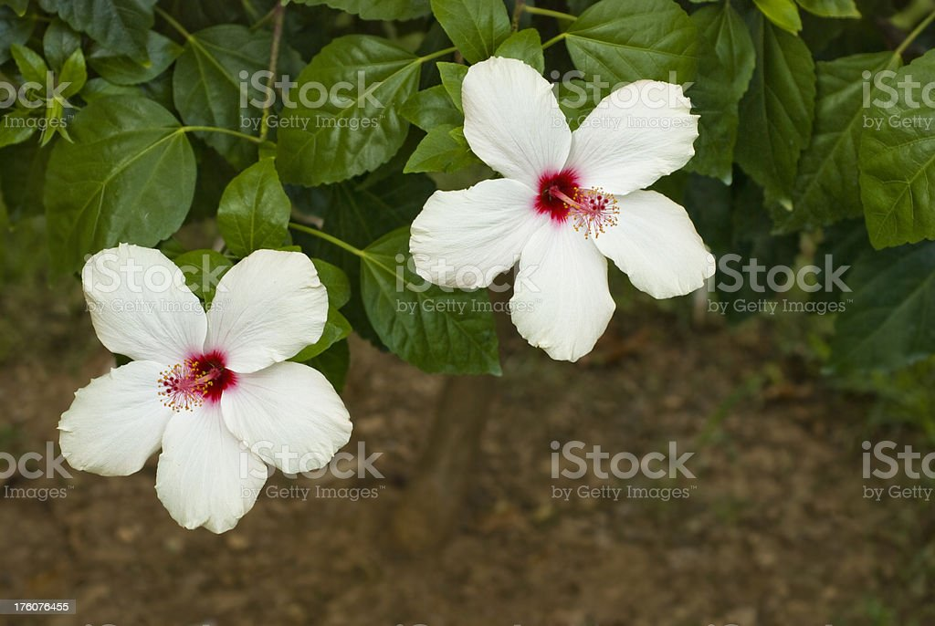 White hibiscus flowers royalty-free stock photo