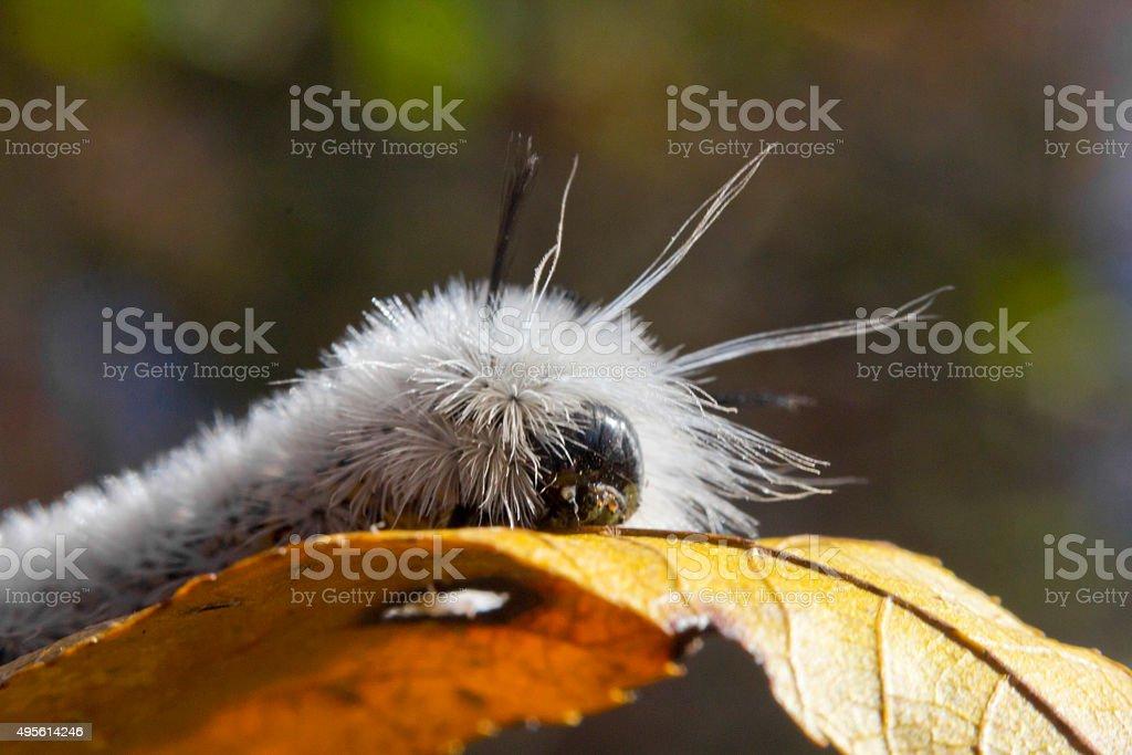 White Hickory Tussock Moth Caterpillar stock photo