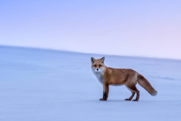 White hills and fox stock photo