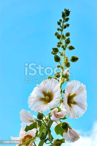 A single blooming white hollyhock against a blue sky. Vertical image with copy space.