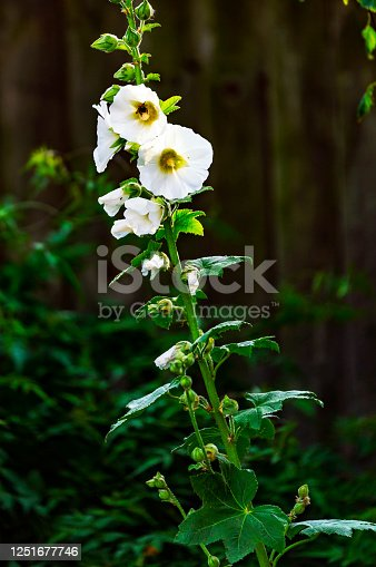 White Hollyhock in a domestic English garden.