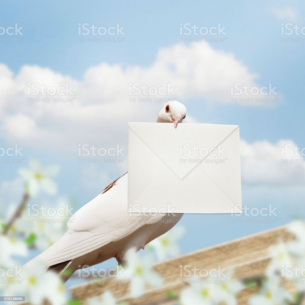 White Homing pigeon with letter. stock photo