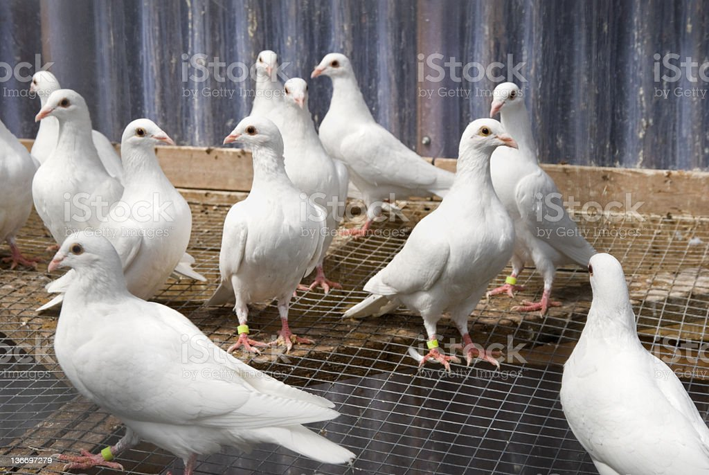 White Homing Pigeons Grouped in Cage stock photo