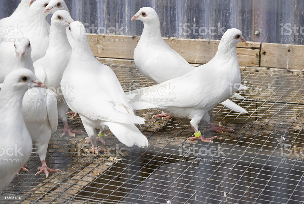 White Homing Pigeons stock photo