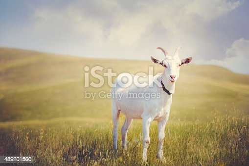 A white horned billy goat standing on a grassy prairie with golden hills and blue sky in the background. Goat is looking toward the camera. No people in image. High resolution color photograph with copy space and horizontal composition.