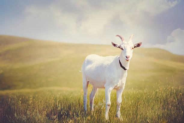 Cornes Billy Goat blanc - Photo