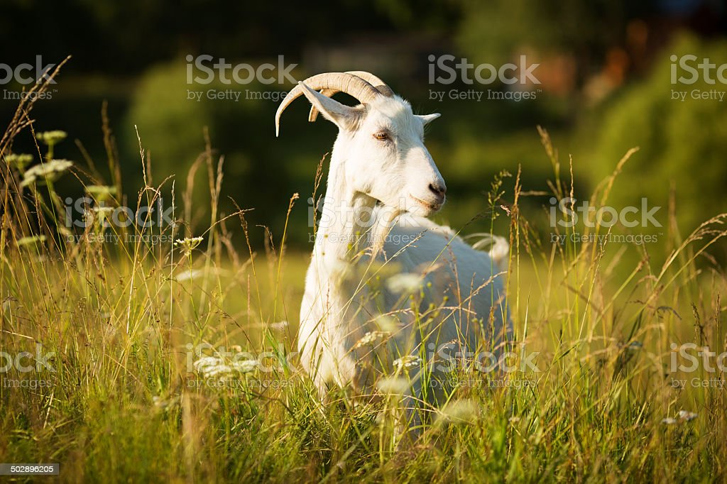 White horned goat grazed on a green meadow royalty-free stock photo