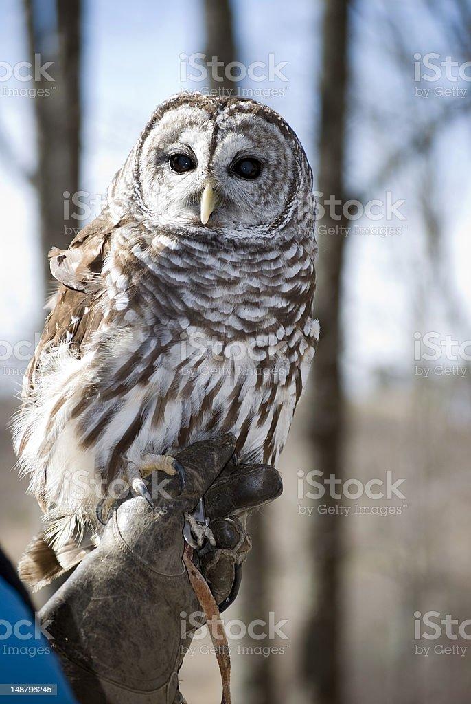 White horned owl royalty-free stock photo