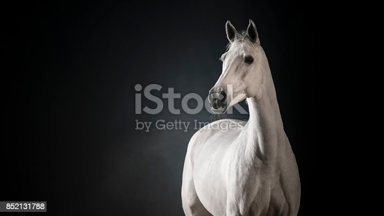 White horse standing against black background.