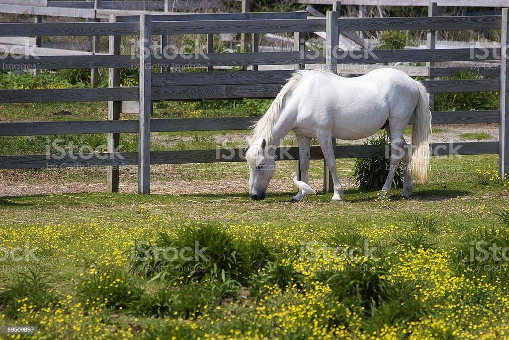 White Horse and Egret 免版稅 stock photo