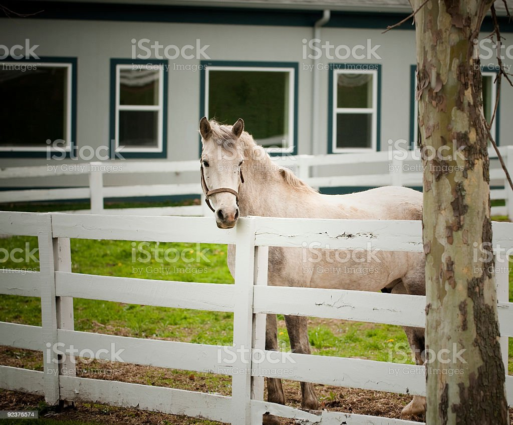 White Horse and fence royalty-free stock photo