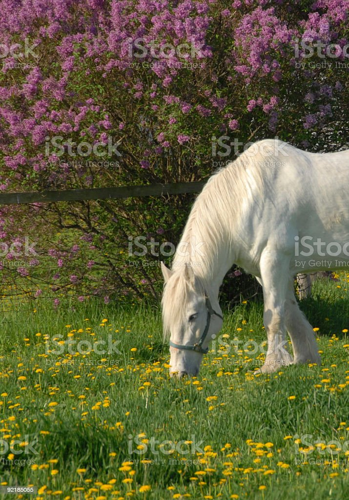 White Horse and Lilac Bush royalty-free stock photo