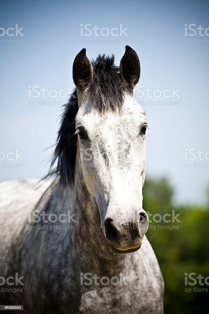White Horse Blue Sky Background - Royalty-free Animal Stock Photo