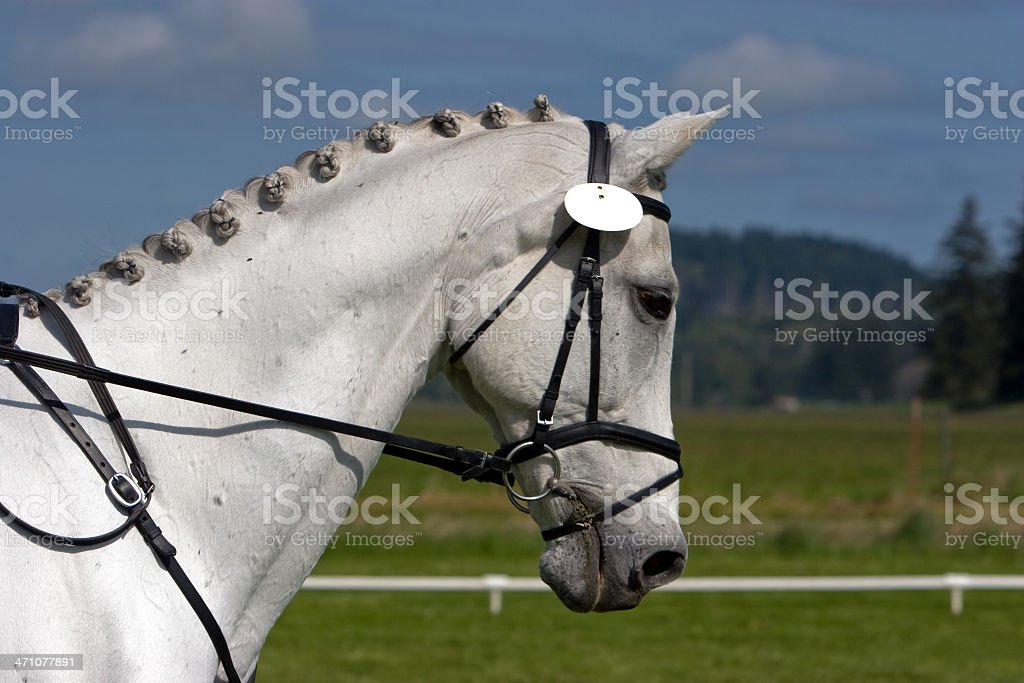 White Horse Braided for Dressage stock photo