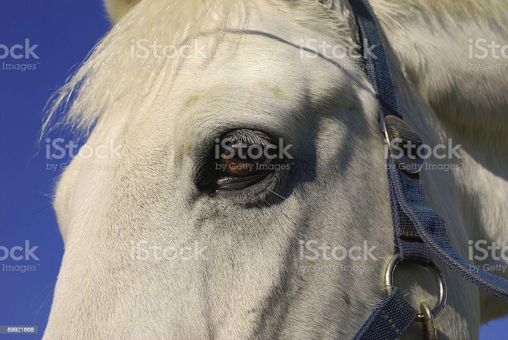 white horse close-up royalty-free stock photo