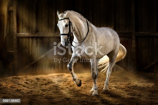 White horse make dressage piaff in dark manege