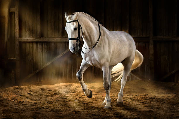 white horse dressage - paard stockfoto's en -beelden