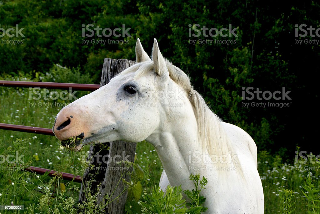 White Horse Eating Over the Fence royalty-free stock photo