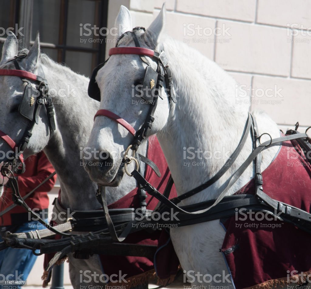 White Horse Full Gear Stock Photo Download Image Now Istock