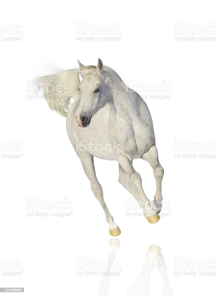 White horse galloping and isolated on white background stock photo