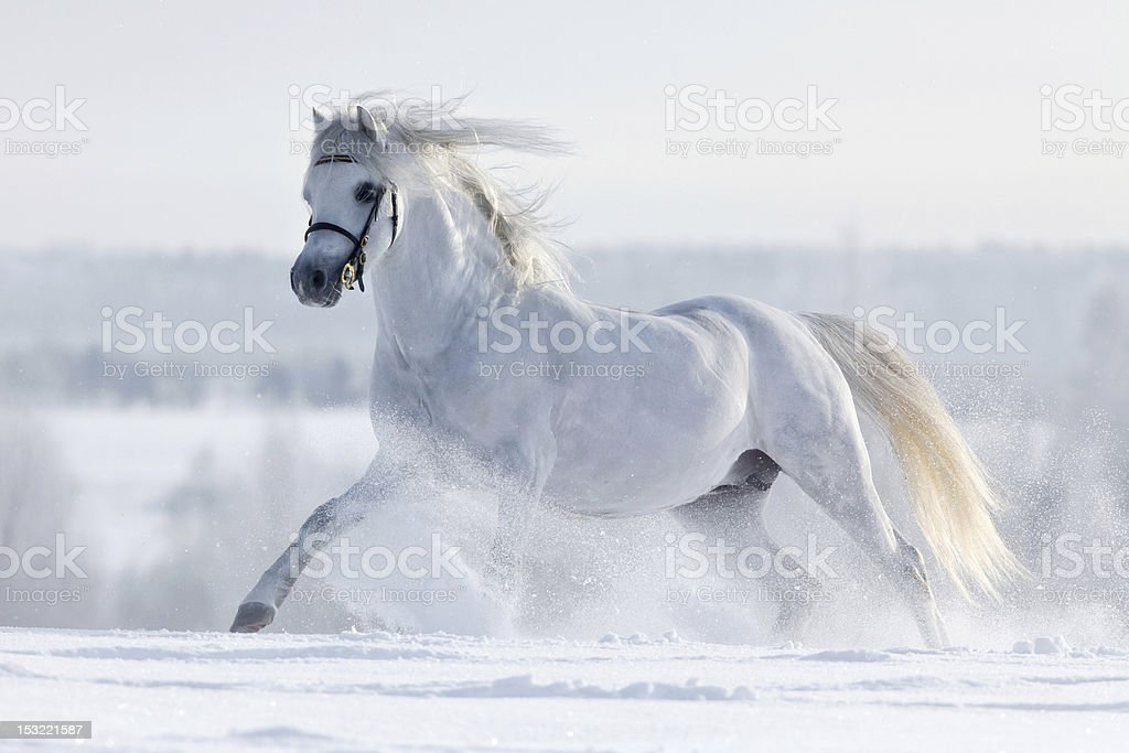 White horse gallops in winter royalty-free stock photo