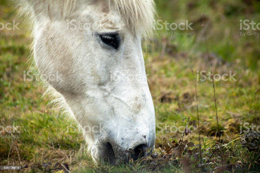 White horse grazing. stock photo