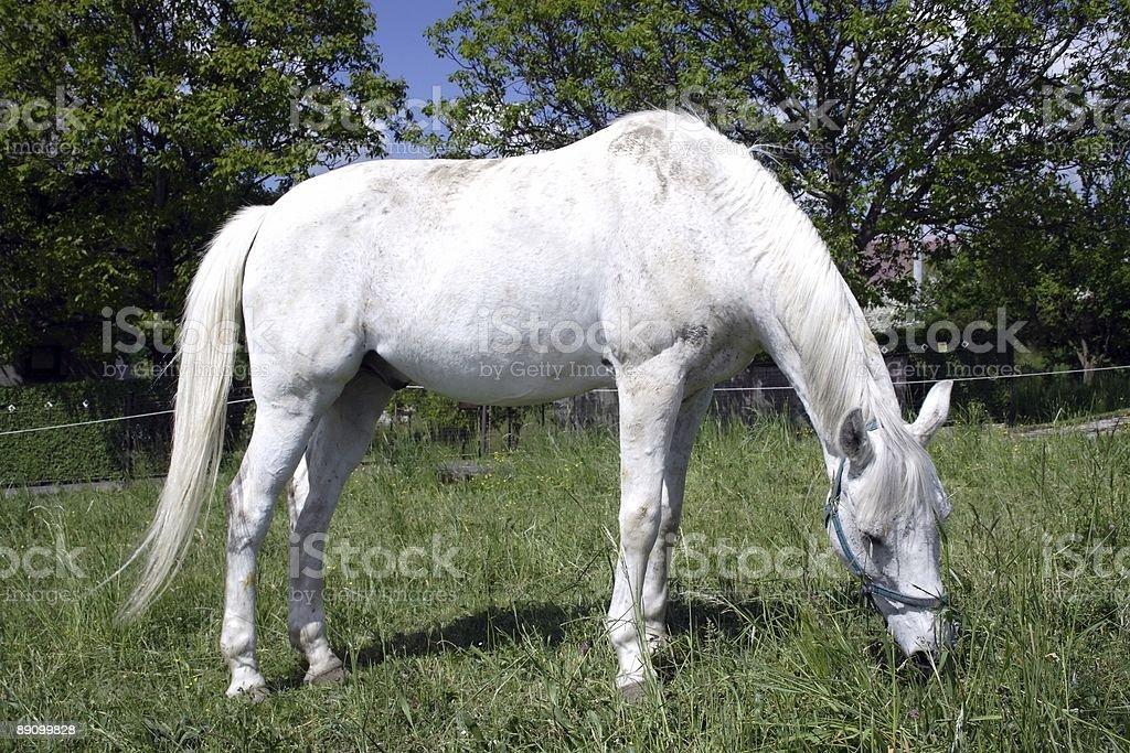 white horse grazing royalty-free stock photo