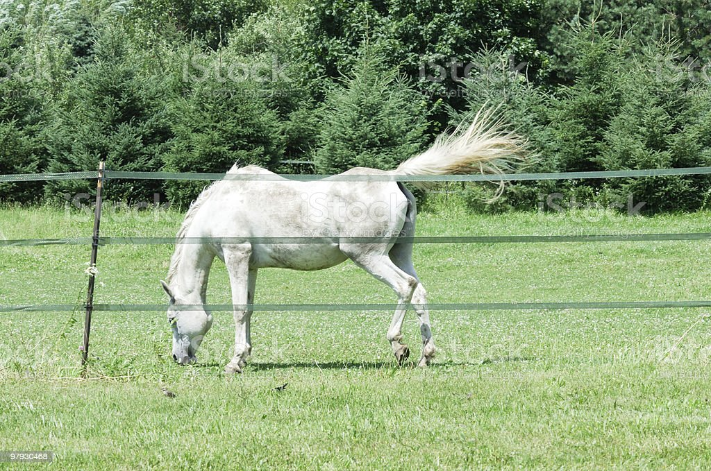 White Horse Grazing royalty-free stock photo