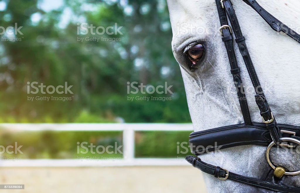 White Horse Half Face Looking Forward On Show Jumping Or Dressage Competition Green Blur Background Stock Photo Download Image Now Istock