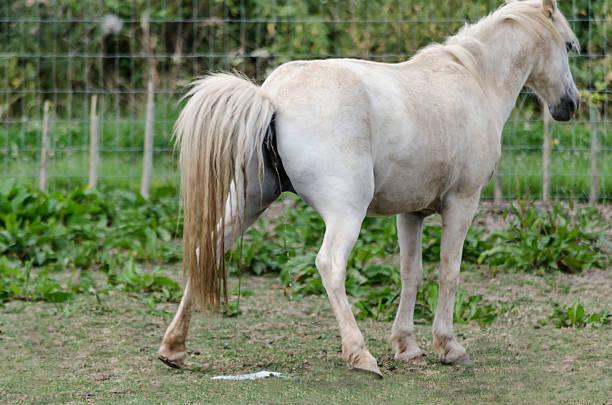 Horse pissing
