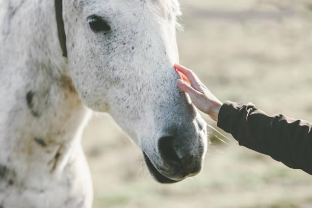 Weißes Pferdekopf hand berühren Lifestyle Tier und Menschen Freundschaft reisekonzept – Foto