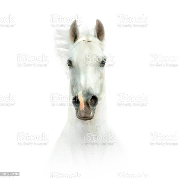 White horse head isolated on white picture id831727284?b=1&k=6&m=831727284&s=612x612&h=au0w6 bzdgwb an8t070xq8uagyccm4a1cl3 bkpp04=